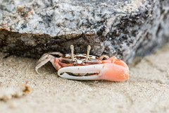 Little orange crab under the rock (elmanther123) Tags: crab animal claws tropical beach biology sandy food seafood ecology marine life shell wild alive aquatic sealife raw one isolated pincer nipper seascape scenic defend alert bay sritter attack sloceup