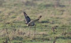 Short-eared owl (Steve Balcombe) Tags: bird birdofprey shorteared owl asio flammeus inflight steart marshes somerset uk