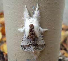 Large Toylpe Moth (boom_goes_the_canon) Tags: moth animal insect nature largetolypemoth