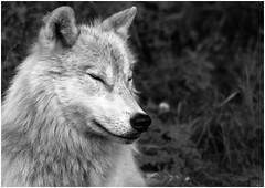Arctic Wolf (nickyt739) Tags: arctic wolf black white monochrome noir animal kingdom canada grey bw flickrsbest peaceful creature wild nikon north america dslr fx d750 planet