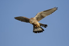 Kestrel (Falco tinnunculus) (Fly~catcher) Tags: falco tinnunculus kestrel sky blue hovering flight bird prey feathers