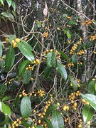 Casearia dallachii (FNQ vines) Tags: arffs yellowarffs arfp australianrainforestplants uplandarf dallachyssilverbirch qrfp queensland casearia dallachii flacourtiaceae malandafallsenvironmentalpark malanda
