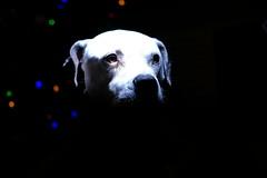 Day 10- Pitbull (Reel Pixel) Tags: pitbull dogs fuji xt3 strobist