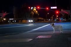 3/52 Nadja (utski7) Tags: 52weeksfordogs nadja mesa nightime noflash highiso traffic trafficlight stop jeep intersection january2019 winter
