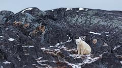Having a sit. Churchill, Manitoba. (j1985w) Tags: churchill manitoba canada winter snow rocks bear polarbear