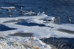 DSC00078 (LezFoto) Tags: snow aberdeen scotland unitedkingdom sonydigitalcompactcamera rx100iii rx100m3 sony dscrx100m3 cybershot sonyimaging sonyrx100m3 compactcamera pointandshoot riverdee blackheadedgull larusridibundus