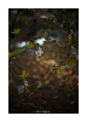 2018/12/9 - 9/21 photo by shin ikegami. - SONY ILCE‑7M2 / Voigtlander NOKTON CLASSIC 40mm f1.4 SC VM (shin ikegami) Tags: 紫陽花 flower 花 井の頭公園 吉祥寺 winter 冬 sony ilce7m2 sonyilce7m2 s7ii 40mm voigtlander nokton nokton40mmf14sc tokyo photo photographer 単焦点 iso800 ndfilter light shadow 自然 nature 玉ボケ bokeh depthoffield naturephotography art photography japan earth asia