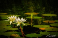 Nenuphar (corineouellet) Tags: discover explore naturelover nature travel water nenuphar nénuphar canonphoto canon focus flower fleur flowers