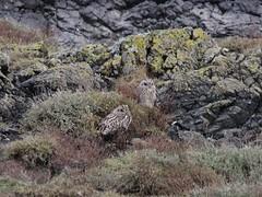 IMG_0630 (fields john) Tags: short eared owl dublin ireland january winter