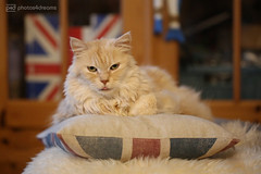 the original chilli (photos4dreams) Tags: p4d photos4dreamz photos4dreams photos chilli photo pics misschillipepper mainecoon female cat ginger red rot fluffy katze canoneos5dmark3