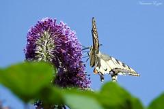 Machaon ou Grand porte-queue «Papilio machaon » (Ezzo33) Tags: france gironde nouvelleaquitaine bordeaux ezzo33 nammour ezzat sony rx10m3 parc jardin papillon papillons butterfly butterflies specanimal machaon grandportequeue papiliomachaon
