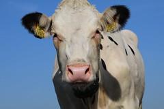 Delta Boldi Control (excellentzebu1050) Tags: dairycows cattle cow livestock animal animalportraits closeup farm farmer outdoor coth5