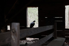 A buzzard perches on the window of an old church schoolhouse next to Zion Wrightsville Baptist Church.