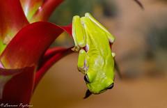 Australian green tree frog (captive) - Reptography Night, Blue Heron Pond Park (superpugger) Tags: frog treefrog frogs anuran australiangreentreefrog blueheronpondpark nature herpetology herptiles herpetologyclub animal amphibian amphibians bromeliad treefrogs