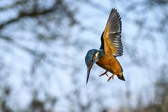 Kingy Hover at NPH (andy_harris62) Tags: kingy kingfisher nikon wildlifephotography nature bird winterwildlife nikond500 inexplore explored kingfisherhover naturephotography