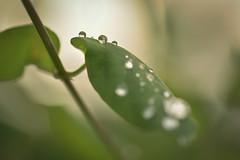 Disfruta de las pequeñas cosas de la vida, porque un día mirarás atrás y verás que ésas eran las grandes cosas de la vida. (elena m.d.) Tags: macromondays green elena guadalajara 7dwf