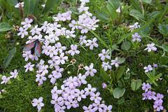Kleines Fünffleck-Widderchen auf Blüten - Zygaena viciae on blossoms (heinrich.hehl) Tags: natur flora fauna blumen schmetterling zygaenaviciae alpen butterfly flowers nature