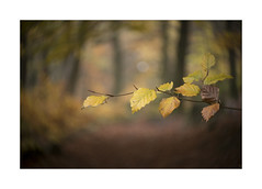 BEECH (Neil Shaw Images) Tags: