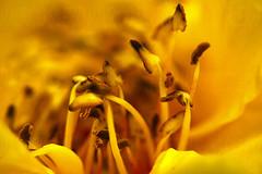life (Mau Silerio) Tags: macro closeup nature fleur flower fiore flor photography sony alpha yellow