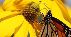 Au cœur de la Rudbeckie (francepar95) Tags: monarque fleur papillon jaune vivace migration nectar butiner monarchbutterfly butterfly flower yellow jardin garden fall automne
