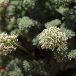 Indian spring parsley, Cymopterus aboriginum thumbnail