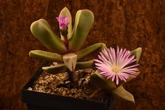 4 novembre 2018 - Cerochlamys pachyphylla