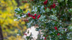 Branche de houx.. branch of holly.. (Didier Gozzo) Tags: autumn automne grenoble ngc canon outdoor houx
