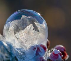 Week 48 Creative: Split Tones (arlene sopranzetti) Tags: frozen soap bubble winter viburnum red berries cold dogwood2018