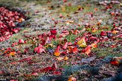 _MG_9195 (Marco Dioguardi) Tags: autunno leaf leaves green foglie autumn red erba terreno 50mm