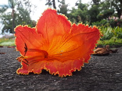 Funchal_15 (Kurrat) Tags: lido madeira funchal portugal spaziergang makro blume blüte