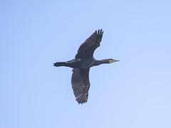 Cormorant (marra121) Tags: siddick ponds cumbria birds water branches trees kingfisher kestrel great tit mute swan geese golden eye little grade cormorant goosanders flying flight