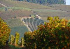 Filari 3 Langhe 18 (zanf89) Tags: langhe piemonte colline vino barolo nocciole neive alba