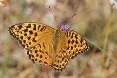 Schmetterling (Hugo von Schreck) Tags: hugovonschreck butterfly schmetterling falter macro makro insect insekt yourbestoftoday canoneos5dsr tamron28300mmf3563divcpzda010