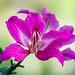 Orquídea de pobre - Mountain Ebony