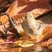 DSC_4778.jpg American Goldfinch, UCSC Farm