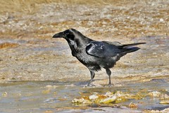 Common Raven (Corvus corax) (Susan Roehl) Tags: yellowstoneinwinter2017 yellowstonenationalpark wyoming usa commonraven foundfrontofsteamvent bird animal corvuscorax smartbirds willingtoeatanything 200to300inthenorthernsectionofthepark sueroehl photographictours naturalexposures lumixdmcgh4 100400mmlens handheld photographedfromboardwalk cropped coth coth5 ngc
