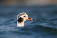 Heads Up (ayres_leigh) Tags: head bird duck toronto nature animal wildlife canon long tail