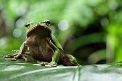 2J4A8054 (ajstone2548) Tags: 12月 樹蛙科 兩棲類 翡翠樹蛙