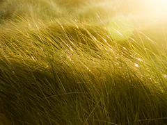 Autumn Mornings (Steve Taylor (Photography)) Tags: bright yellow green sparkle newzealand nz southisland canterbury christchurch dunes grass glow lensflare autumn dawn sun sunny sunshine southnewbrighton