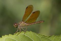 Odonata (Erythrodiplax umbrata?) (Ce Rey) Tags: macro insect dragonfly libélula odonata odonate erythrodiplaxumbrata canon eos80d wildlife ngc vidasilvestre revl reservaecológicadevicentelópez animalia arthropoda insecta libellulidae canoneos80d caballitodeldiablo challengegamewinner nature