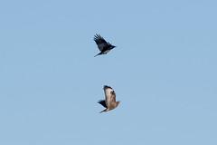 Common Buzzard at Skeie S24A0485 (grebberg) Tags: skeie klepp rogaland norway 2018 november bird commonbuzzard buteobuteo buzzard raptor burdofprey buteo