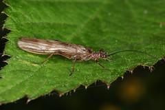Insecte de la famille des Perlidae et de l'ordre des Plecoptera (chug14) Tags: macro insect animalia arthropoda hexapoda insecta stoneflies plecoptera perlidae