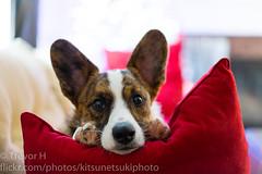 Hes Learning 3 (Kenjis9965) Tags: sonnar5518za sonya7iii sonnartfe1855 sel5518z sony a7 iii mark zeiss 55mm f18 za fe cardigan welsh corgi ravi sitting christmasy posing adorable puppy pupper doggo