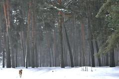 Snow in the forest. (ALEKSANDR RYBAK) Tags: изображения зима сезое погода природа мороз холод лес деревья сосны ветки хвоя дорога собака images winter this season weather nature frost cold forest trees pine branches needles road dog landscape ukraine