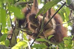 Borneo Orang Utan (koifarmer) Tags: borneoorangutan baby freierwildbahn pongopygmaeus sabah borneo malaysia monkey ape jungle mammal red