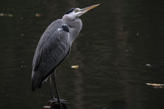 DSCF4998 (jojotaikoyaro) Tags: syakujii nerima tokyo japan bird nature wildlife animal fujifilm xh1 xf100400mm