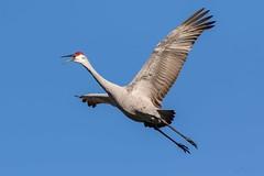 Sandhill Crane (Jay Paredes) Tags: sandhillcrane antigonecanadensis bird crane marsh flight marshtrail armlnwr arthurrmarshall loxahatchee nationalwildliferefuge boyntonbeach florida