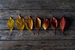 🍁 (CarolienCadoni..) Tags: ilca sonyilcaa99m2 autumnleaves autumn autumncolors light stilllife 50mmf14 sal50f14
