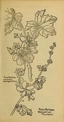 Anglų lietuvių žodynas. Žodis malacothamnus reiškia <li>malacothamnus</li> lietuviškai.