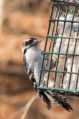 DSC_1227.jpg (ldjaffe) Tags: downywoodpecker peacevalleynaturecenter